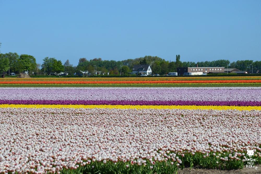 Keukenhof Holandia